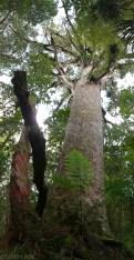 Wielkie i stare drzewa Kauri (1)