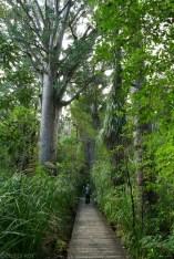 Wielkie i stare drzewa Kauri (3)