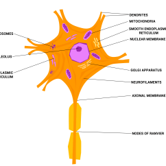 Labelled Diagram Of Nerve Cell Are Truck Cap Parts Labeled