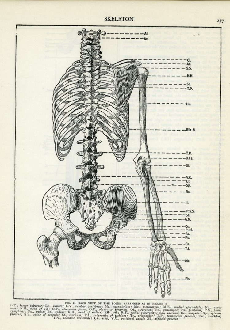 hight resolution of human skeleton torso and right arm