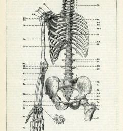 human skeleton torso  [ 752 x 1080 Pixel ]