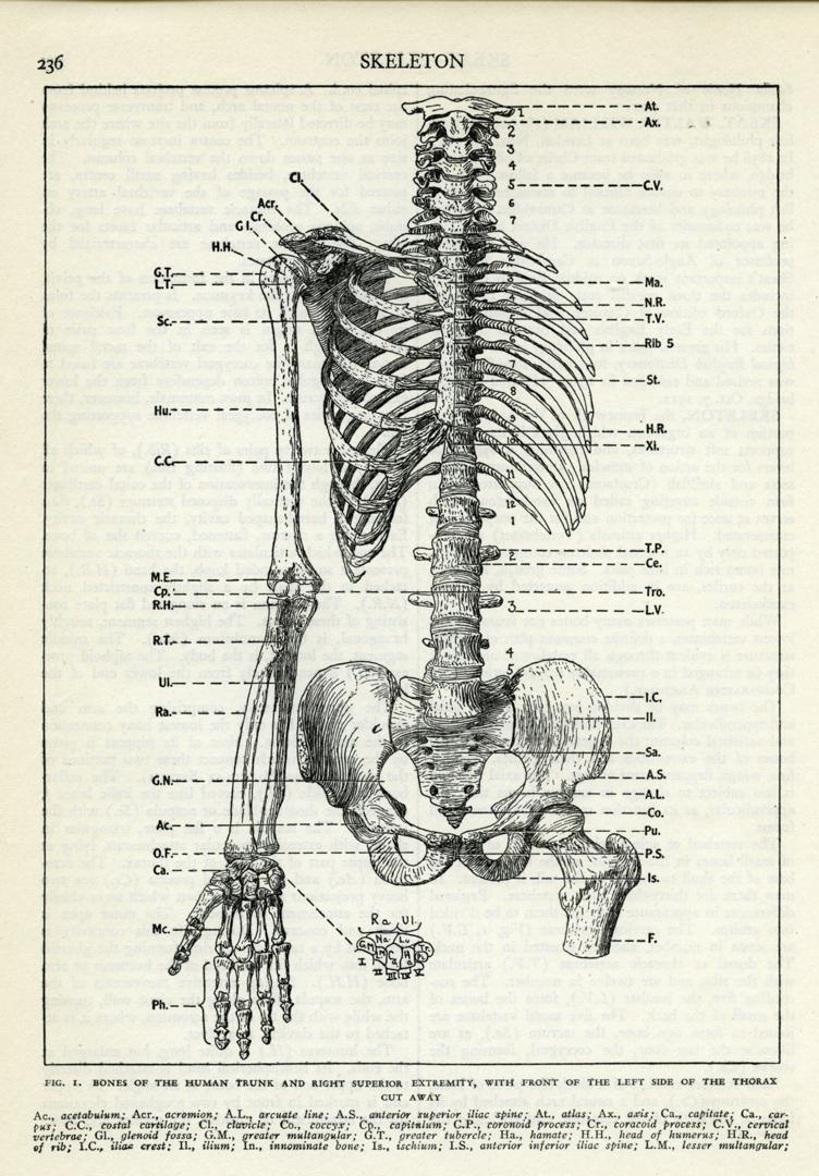 medium resolution of human skeleton torso