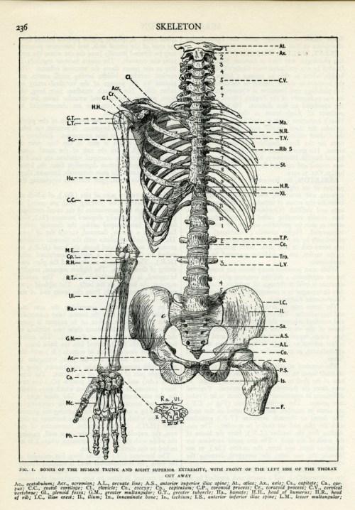 small resolution of human skeleton torso
