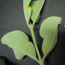 Yellow myrtle rust spots on a leaf.