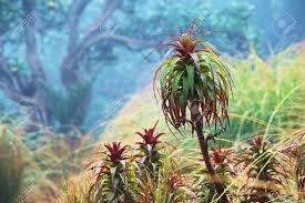 Dracophyllum.