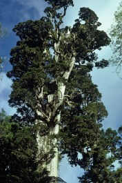 An ancient totara tree in Pureora Forest Park.