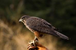 New Zealand falcon/kārearea. Photo: Janice McKenna