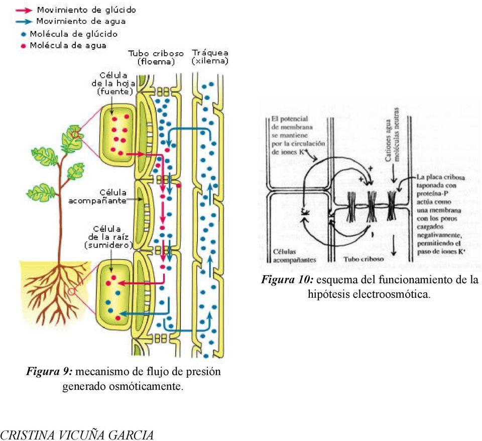 NAGELI 1858 sugiere que la sabia elaborada se transporta por el floema phloioscorteza el floema esta por fuera  PDF