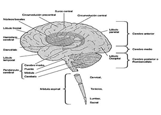 Cerebro. psicoactivas. Elementos básicos. neurobiología. y
