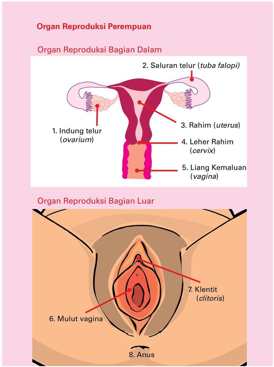 Penyebab Sperma Tidak Masuk Ke Indung Telur : penyebab, sperma, tidak, masuk, indung, telur, Organ, Reproduksi, Perempuan., Bagian, Dalam., Luar., Saluran, Telur, (tuba, Falopi), Download