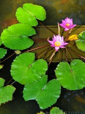Tumbuhan Hidrofit Beserta Contoh Gambarnya : tumbuhan, hidrofit, beserta, contoh, gambarnya, Gambar, Tumbuhan, Eceng, Gondok, Teratai, Paling, Bagus, Pixabay