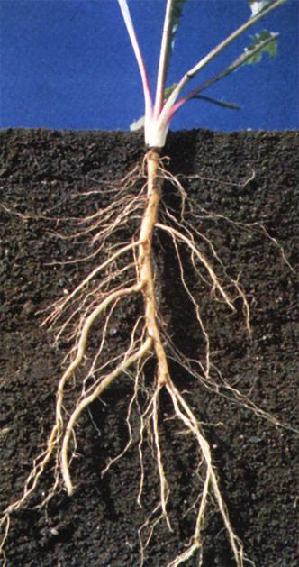 Tumbuhan Berakar Serabut : tumbuhan, berakar, serabut, Bagian-Bagian, Tumbuhan, Fungsinya, Download
