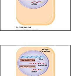 translation ribosome polypeptide b eukaryotic [ 960 x 1630 Pixel ]