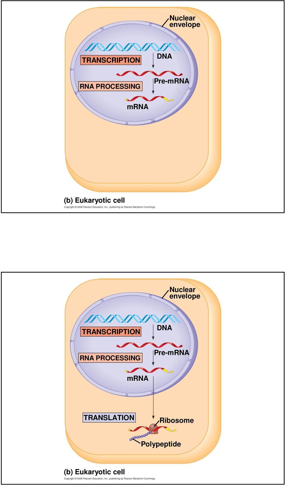 medium resolution of translation ribosome polypeptide b eukaryotic