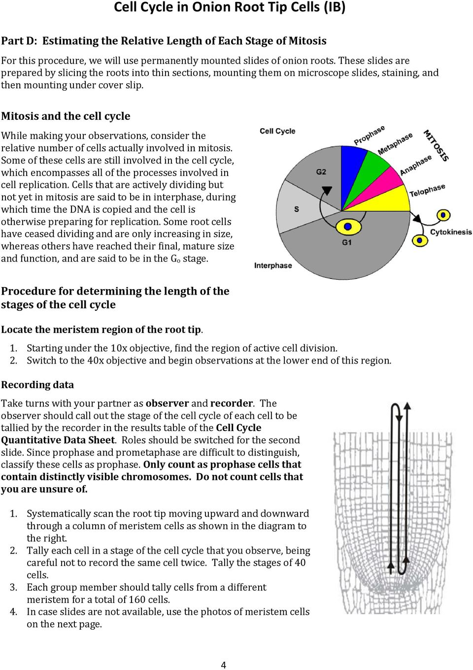 onion root tip diagram ground fault breaker wiring cell cycle in cells ib pdf mitosis and the while making your observations consider relative number of 5