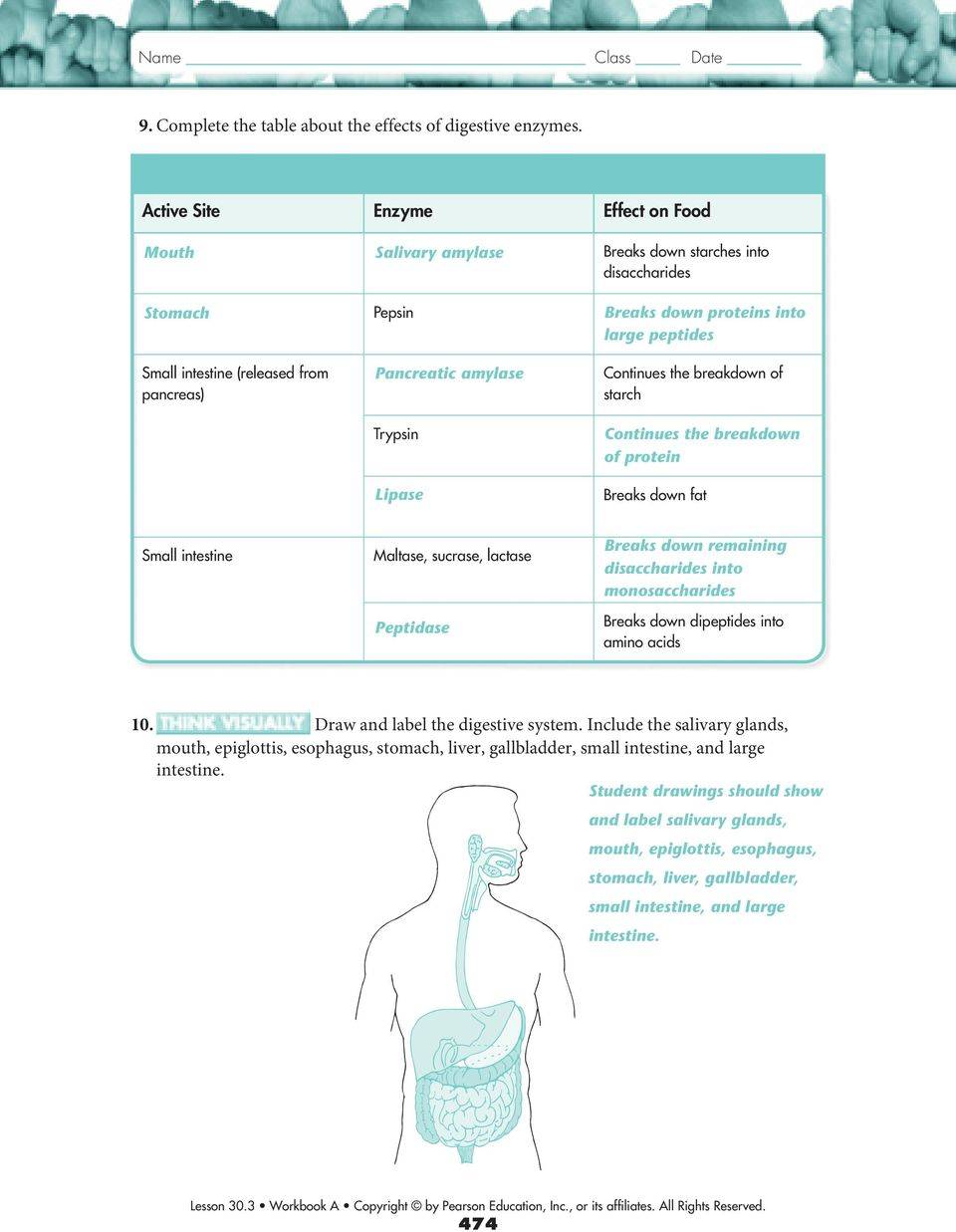 hight resolution of 30.3 The Digestive System - PDF Free Download