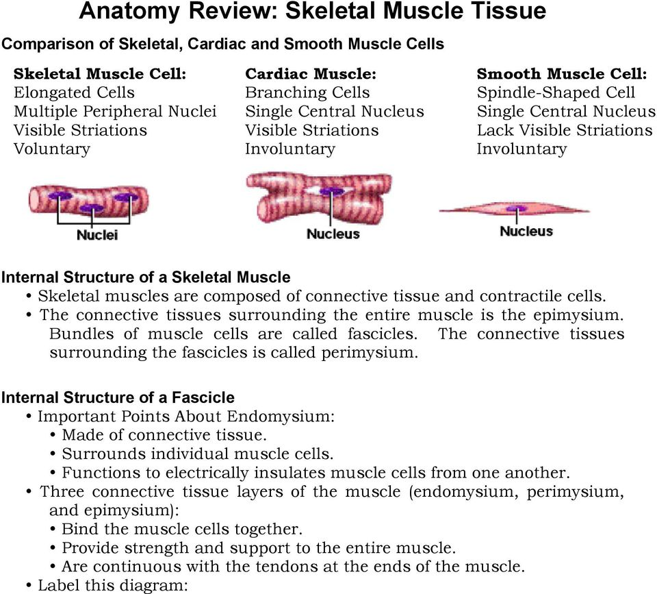 hight resolution of skeletal muscle skeletal muscles are composed of connective tissue and contractile cells the connective tissues