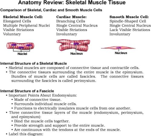 small resolution of skeletal muscle skeletal muscles are composed of connective tissue and contractile cells the connective tissues