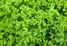 """Se comprobó que el kale ayuda a subir los niveles de colesterol """"bueno"""" (Foto: Pixabay)"""