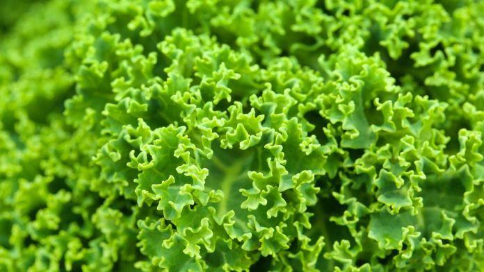 Se comprobó que el kale ayuda a subir los niveles de colesterol