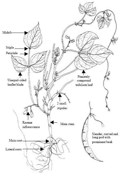 diagram of bean plant