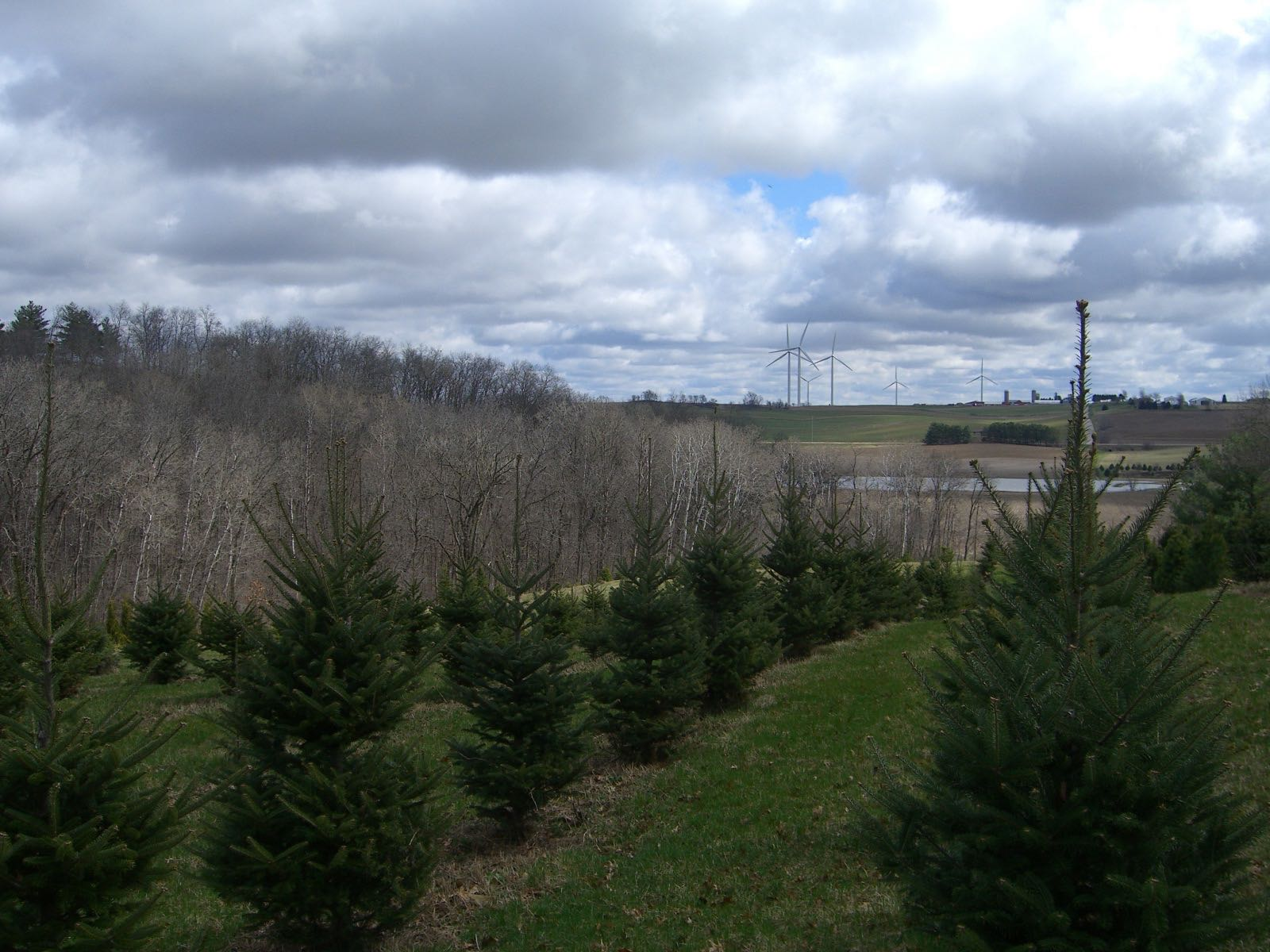 Christmas Trees at Docter Evergreens in Cross Plains, Wisconsin