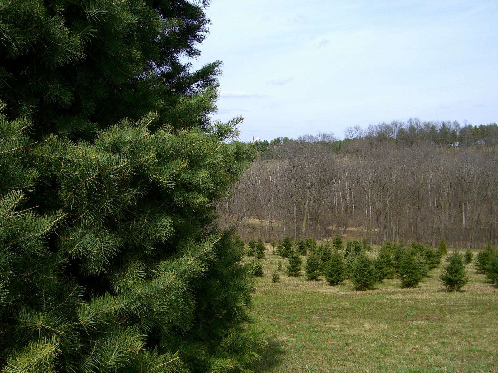 View of Christmas Trees at Docter Evergreens
