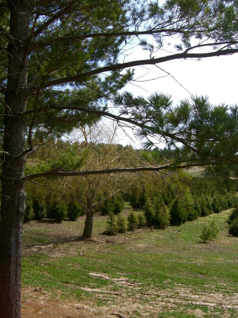 Nursery trees at Docter Evergreens