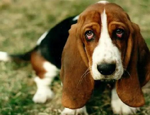 cynophagie consommation de chiens dans le monde