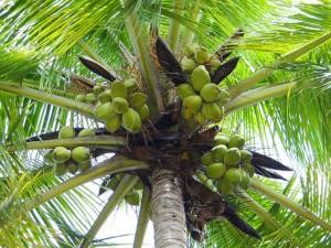 sucre de coco, alternative, sucre,