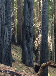 Burned redwoods stand as dark reminders of the recent fire.