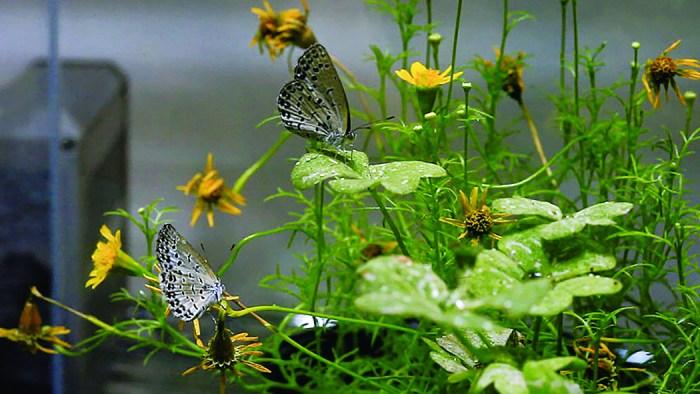 HF_ura_Papillons_1