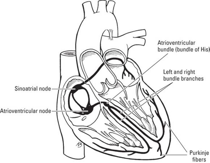 The Cardiovascular System: Getting Your Blood Pumping