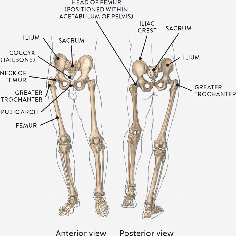 hight resolution of skeletal diagram