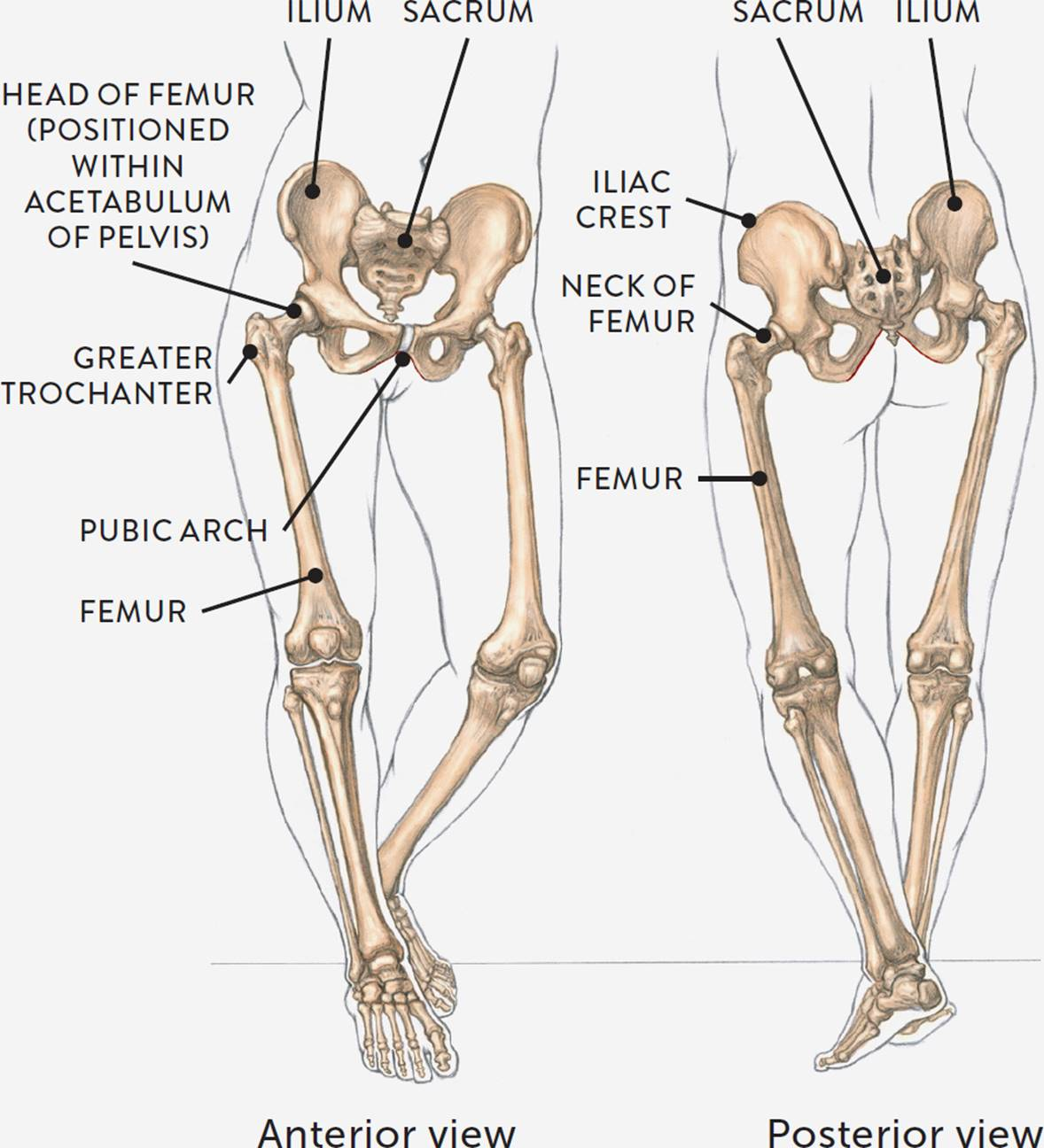 hight resolution of the ischium bones at the bottom portion of the pelvis look like bagels or doughnuts because of the large opening called the obturator foramen in the