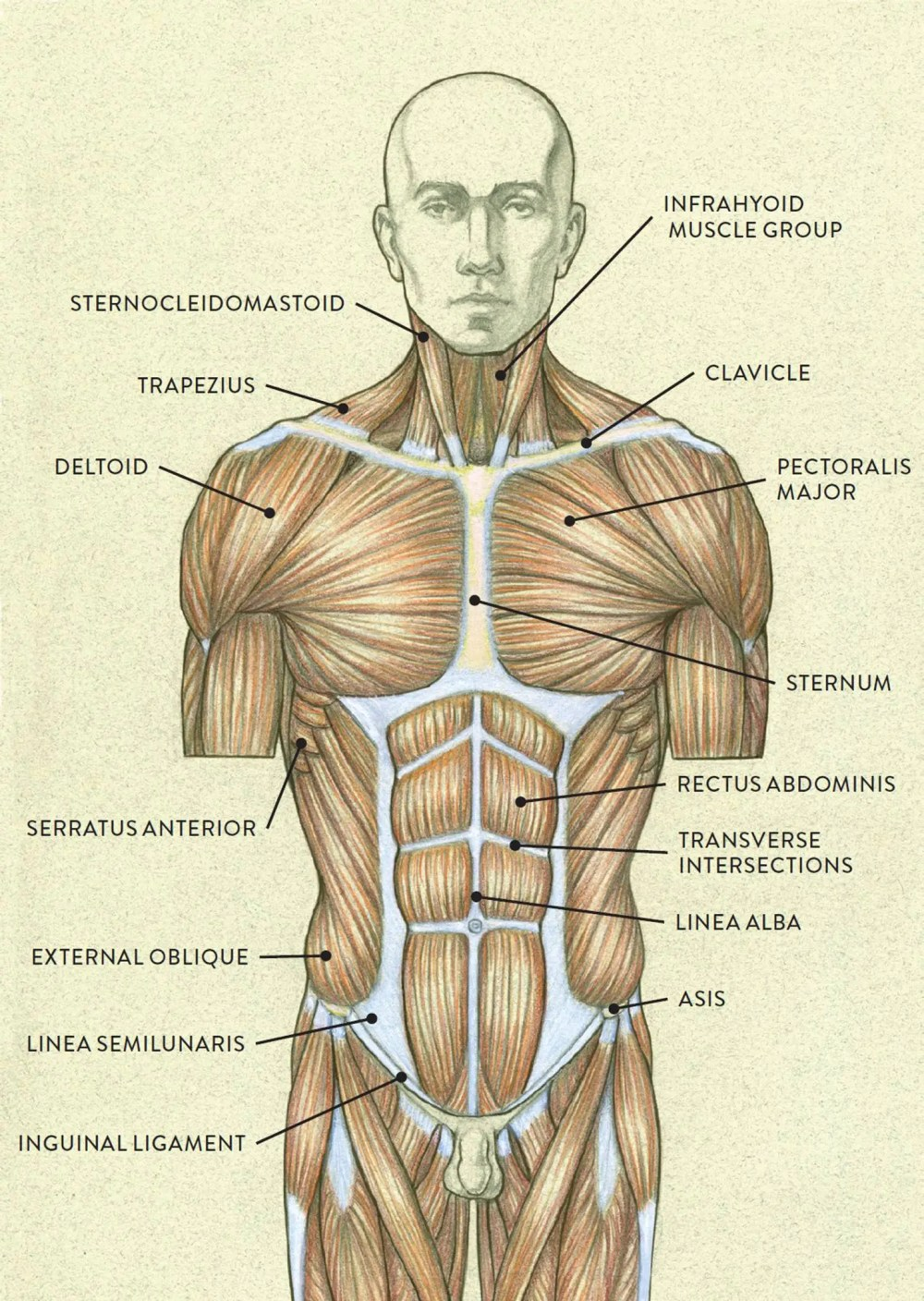 medium resolution of muscles of the torso posterior view