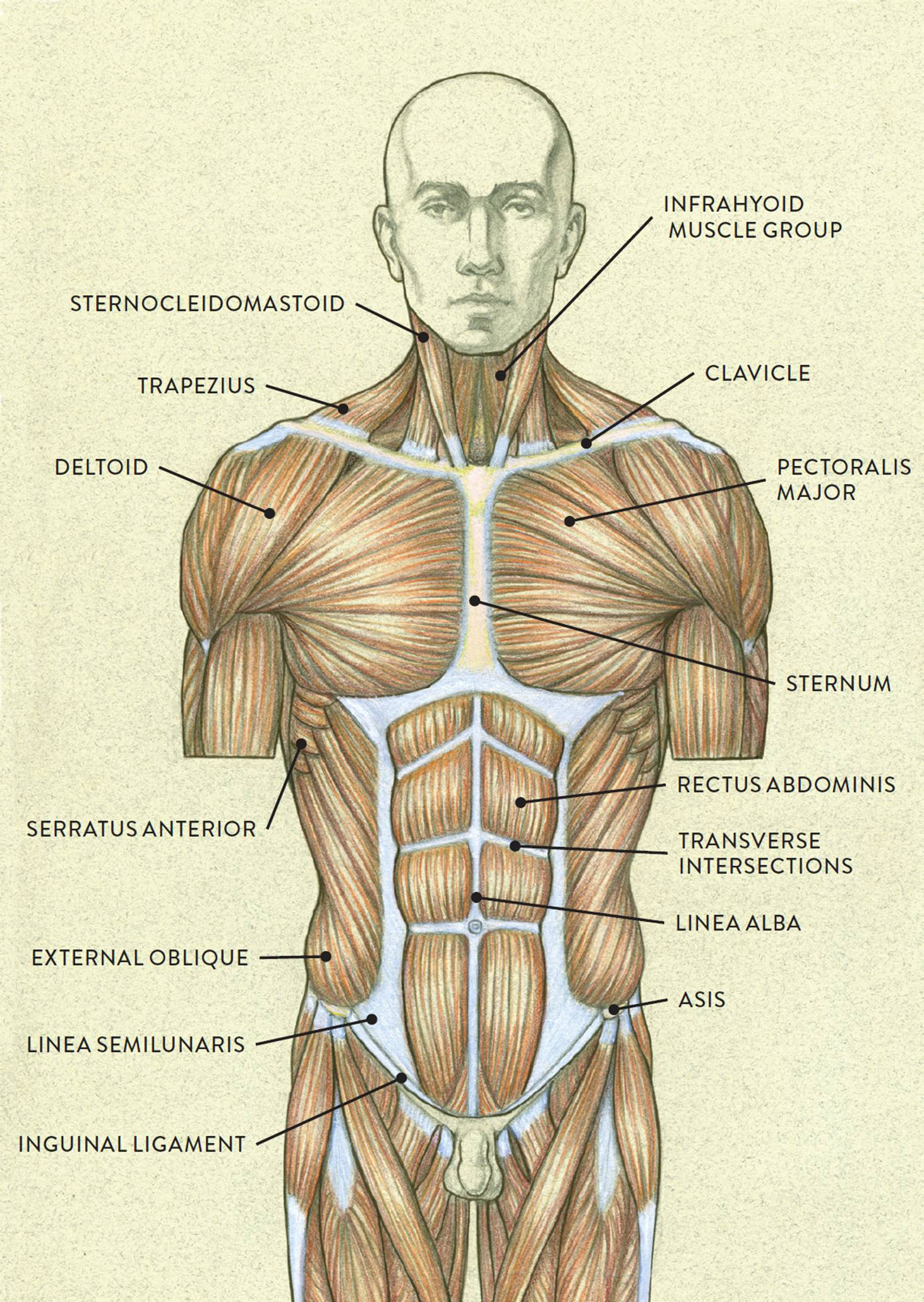 hight resolution of muscles of the torso posterior view
