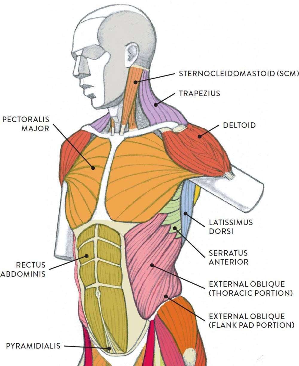 medium resolution of muscle diagram