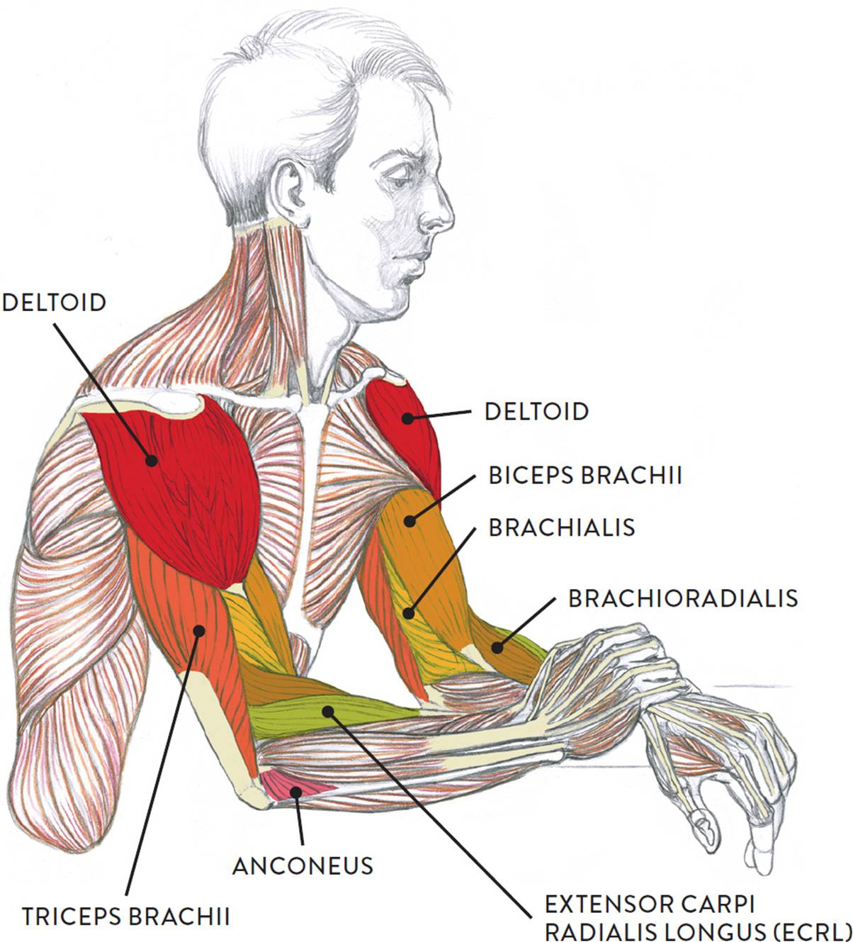 triceps brachii diagram vehicle light wiring muscles of the arm and hand classic human anatomy in