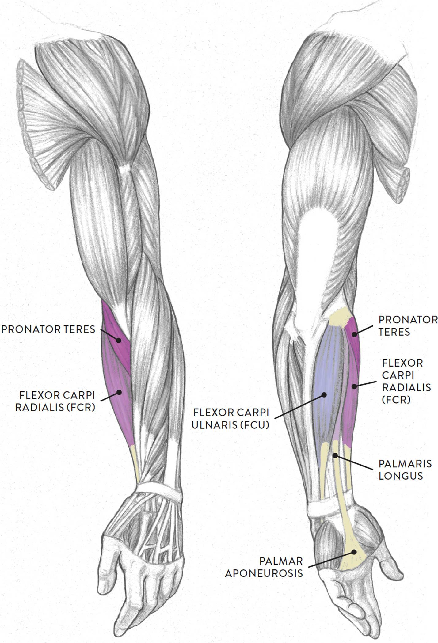 Left Arm Muscle Diagram