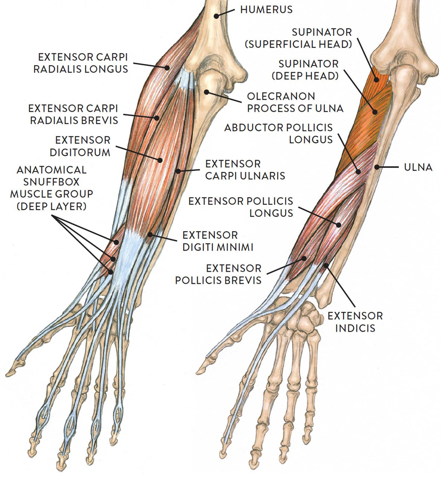 hight resolution of extensor muscle group of the lower arm