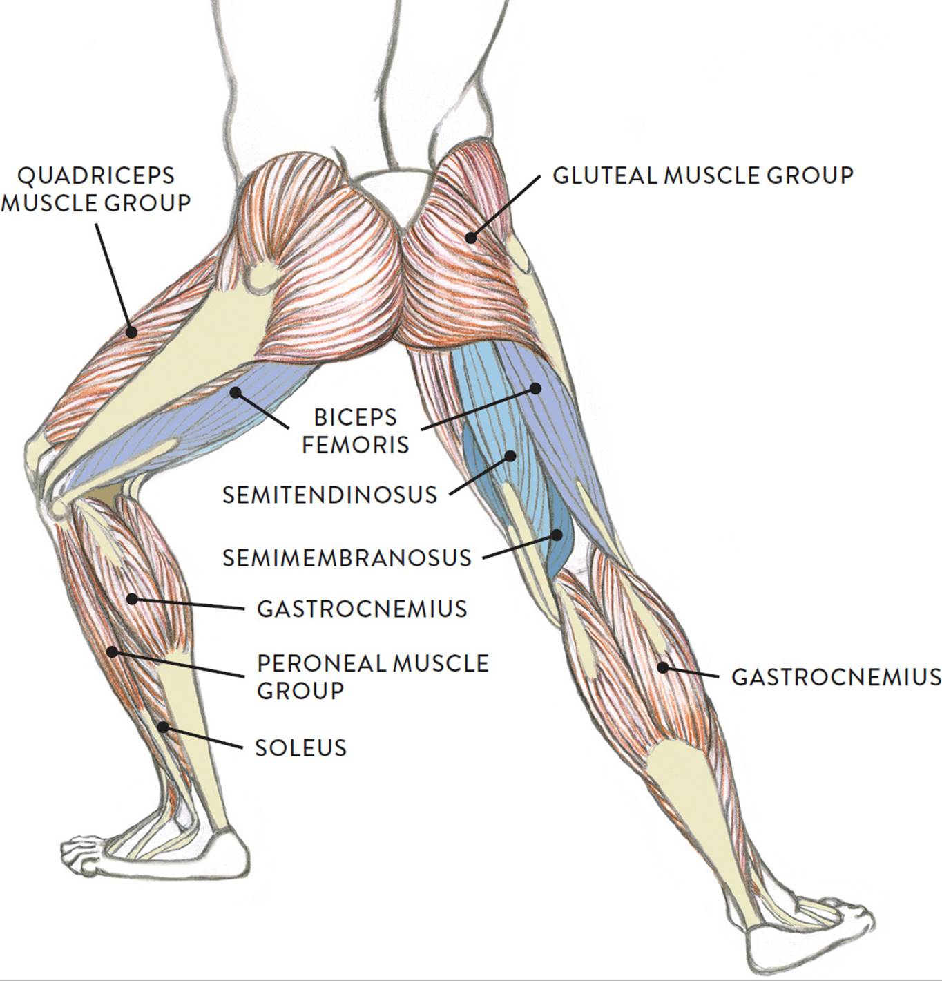 hight resolution of muscle diagram the biceps femoris pron bi seps fem or iss is positioned on the posterior and lateral portions of the upper leg as its name implies