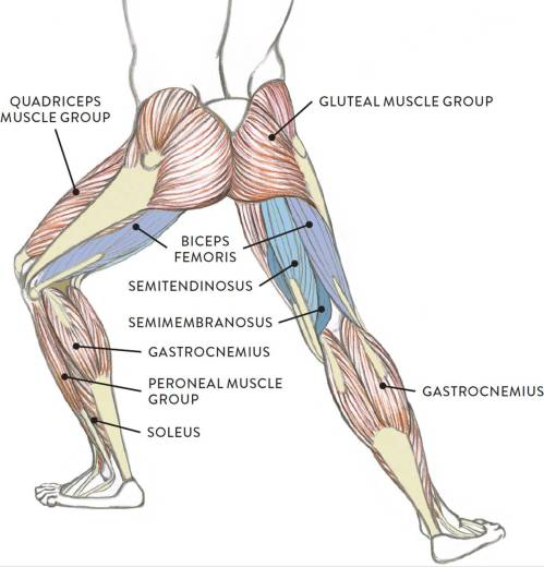 small resolution of muscle diagram the biceps femoris pron bi seps fem or iss is positioned on the posterior and lateral portions of the upper leg as its name implies
