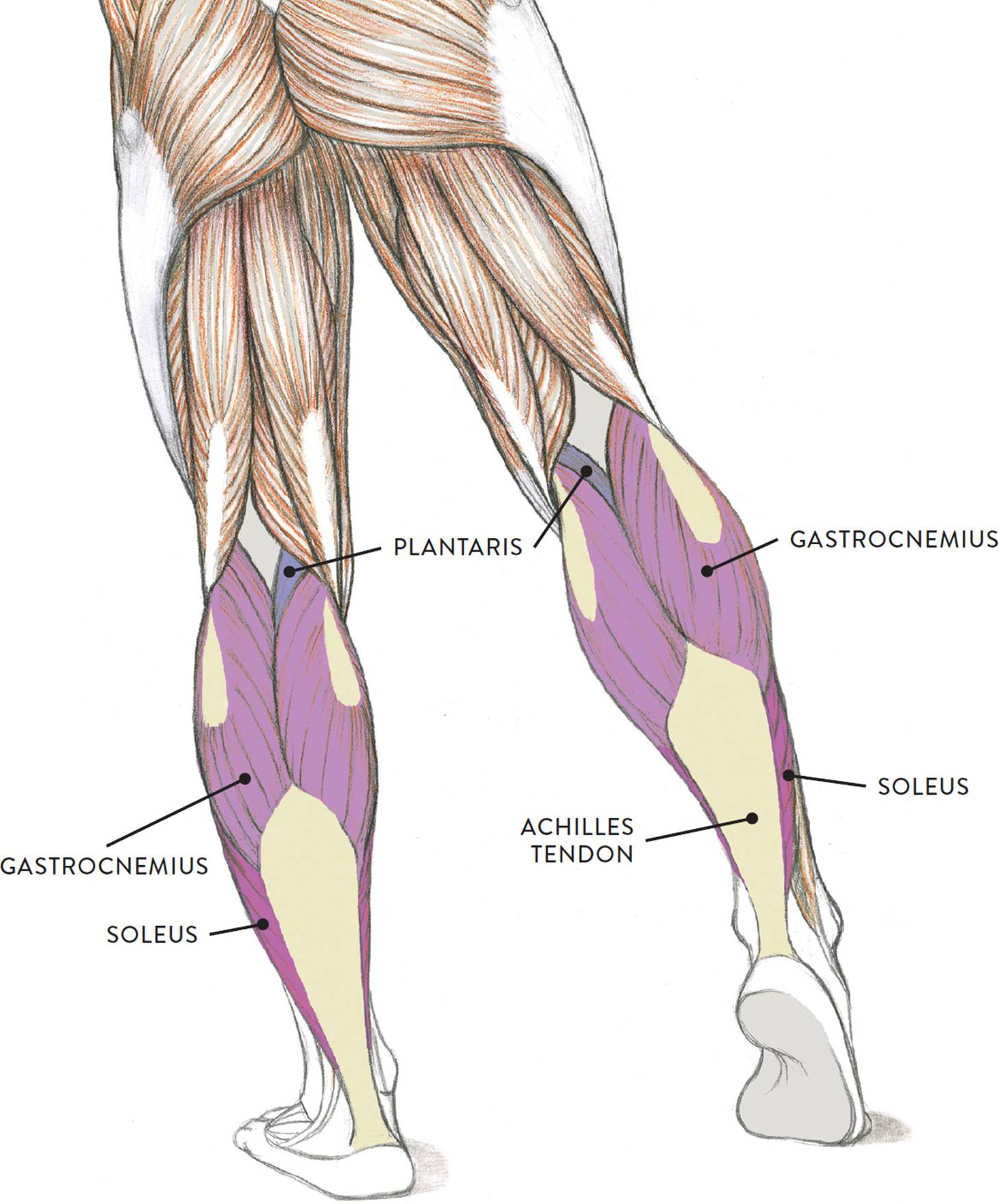 hight resolution of  more commonly known as the calf muscle is an impressive oval muscular shape occupying the upper half of the lower leg in the posterior region