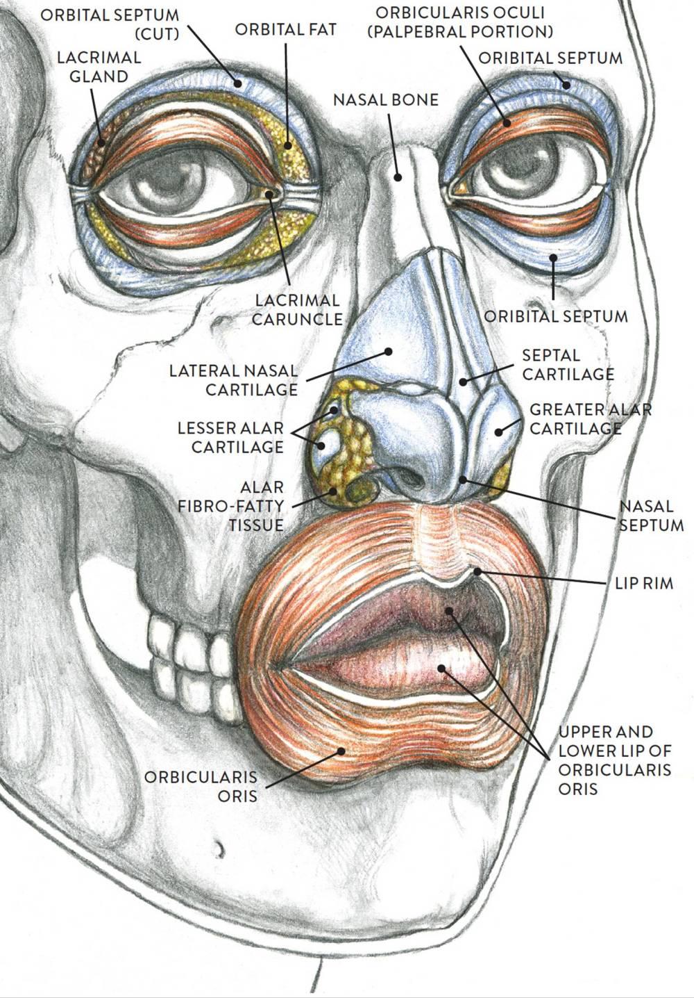 medium resolution of anatomical study