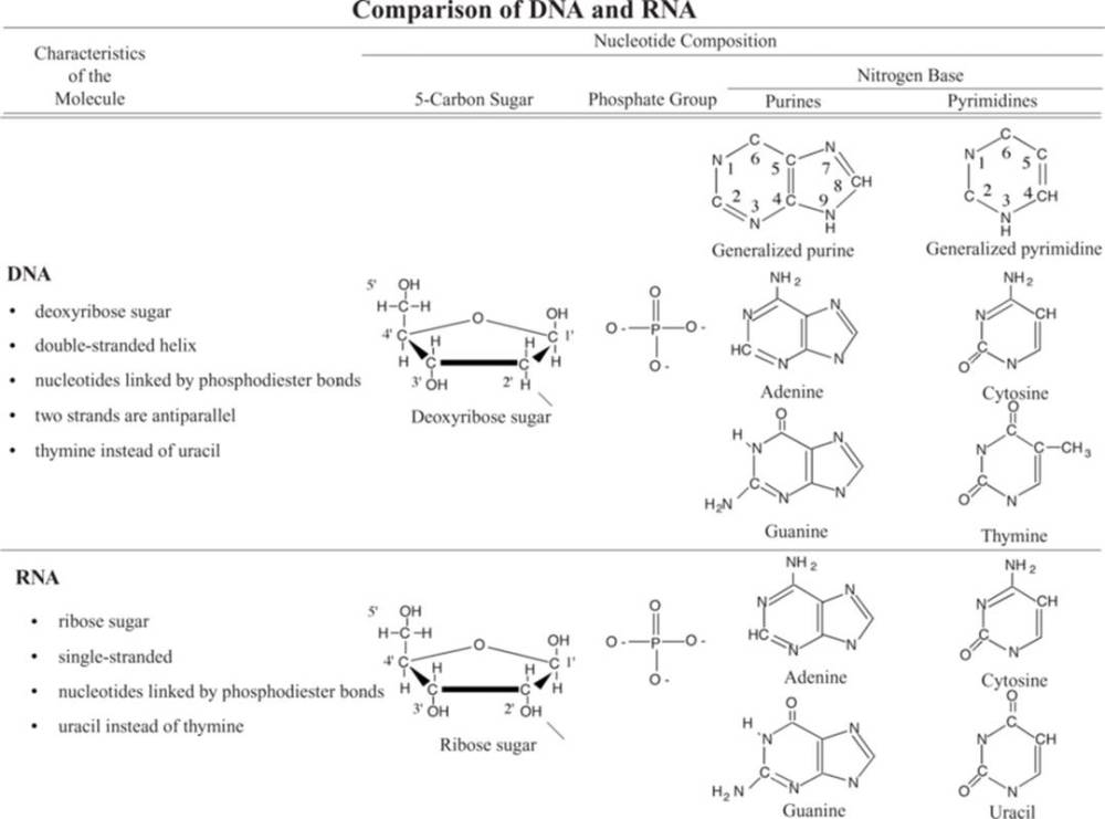 medium resolution of deoxyribonucleic acid dna and ribonucleic acid rna are both composed of chains of subunits called nucleotides each nucleotide is in turn