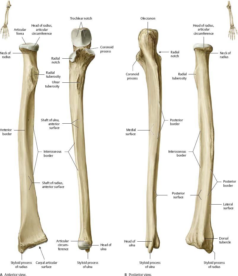The Elbow Anatomy