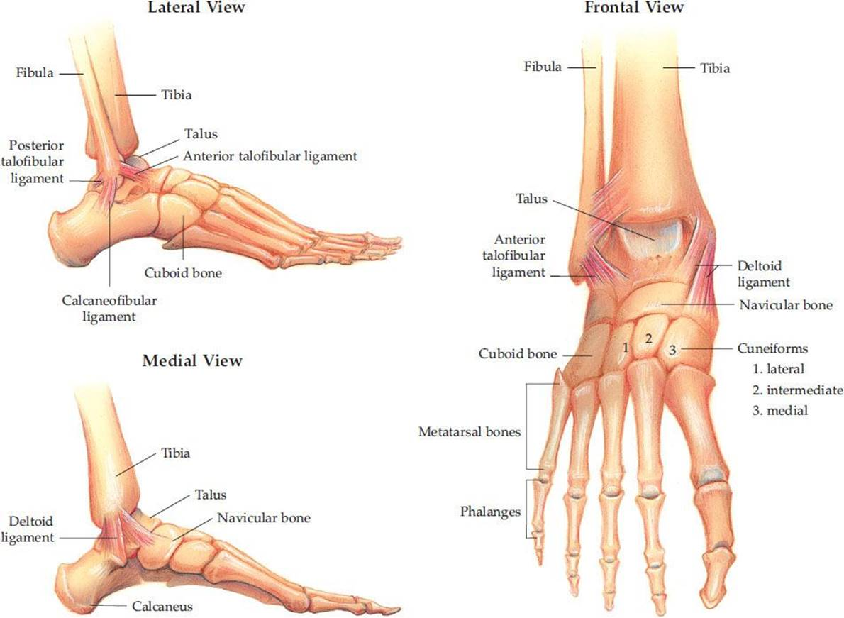 hight resolution of the foot has three general parts the hindfoot calcaneus and talus the midfoot navicular cuboid and cuneiforms and the forefoot metatarsals and
