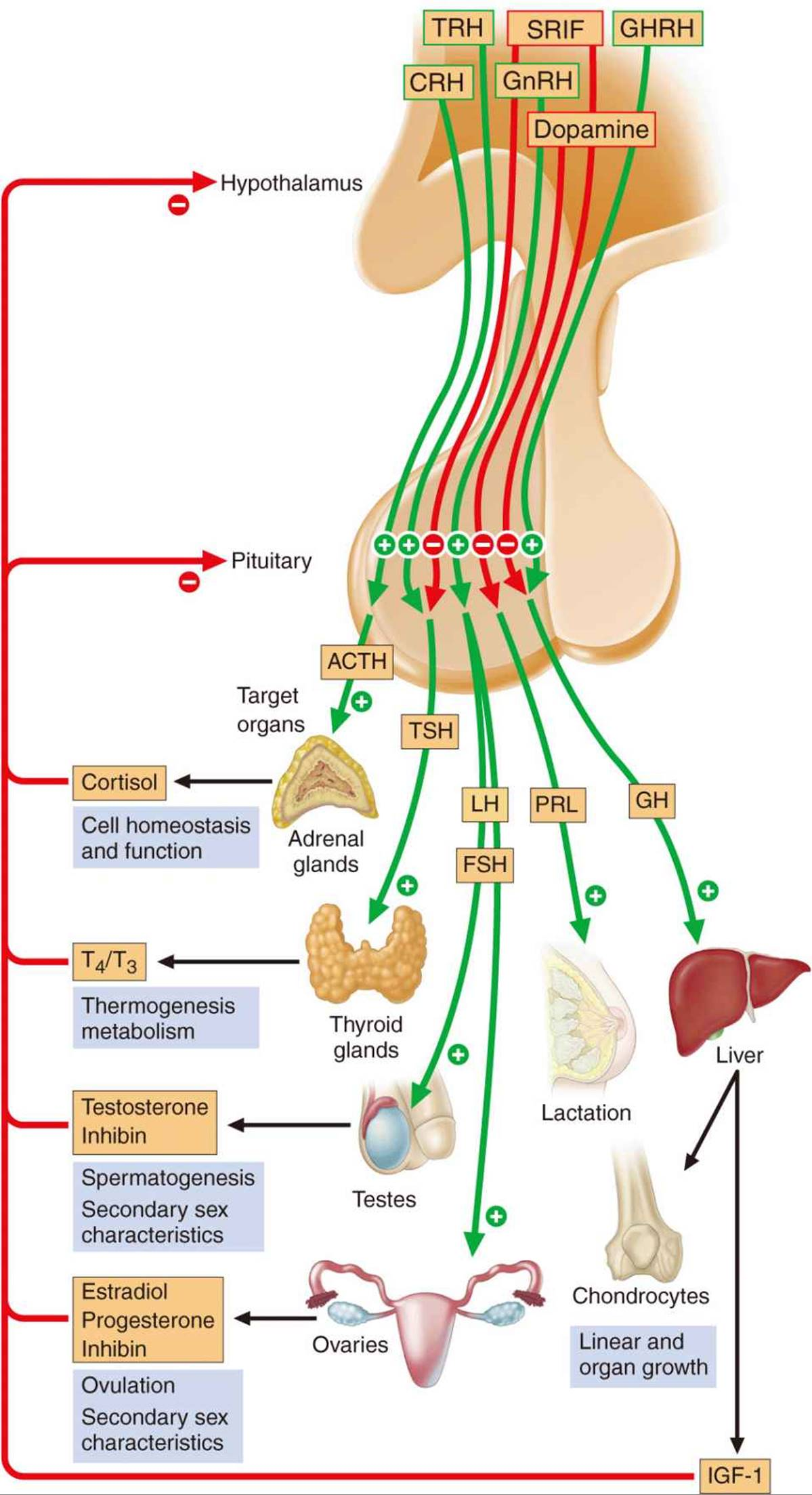 Neurologic Disorders Of The Pituitary And Hypothalamus