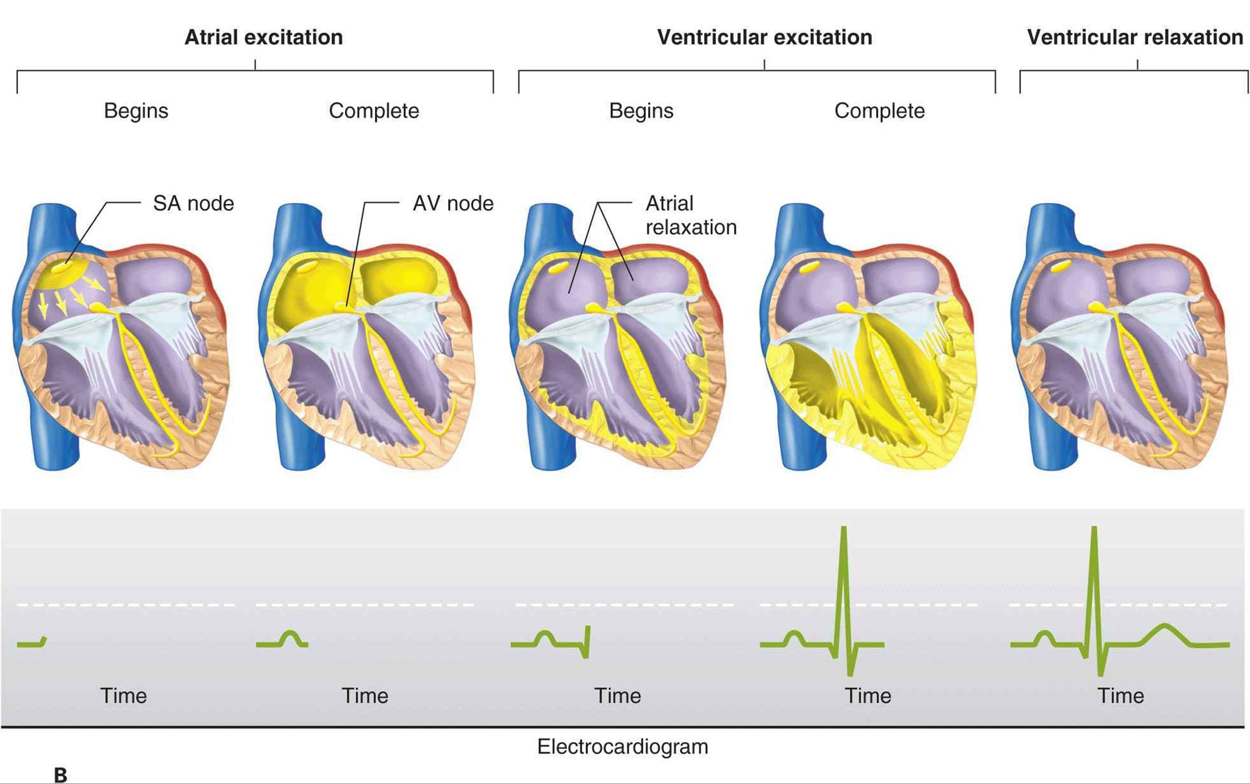 Origin Of The Heartbeat And The Electrical Activity Of The